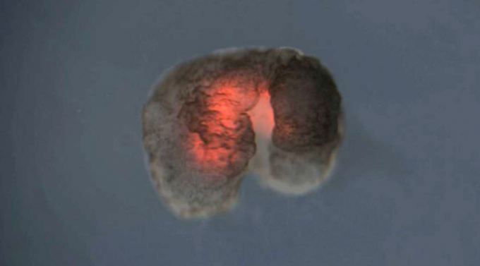 Xenobots: de células de rana a organismos programables